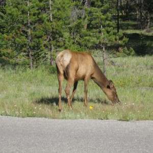 Female elk, Jasper